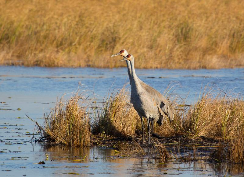 Sandhill cranes 41 (October 2016)
