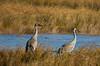 Sandhill cranes 42 (October 2016)