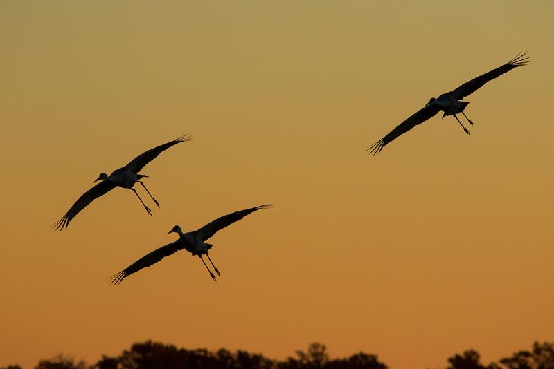 Sandhills cranes 1 (October 2016)