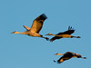 Sandhill cranes 4 (2016)