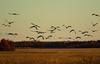 Sandhill cranes 11 (October 2016)