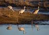 Sandhill cranes 37 (October 2016)
