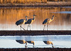 Sandhill cranes 34 (October 2016)