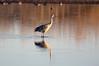 Sandhill cranes 40 (October 2016)