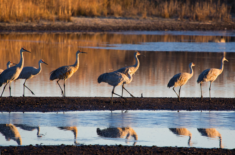 Sandhill cranes 33 (October 2016)