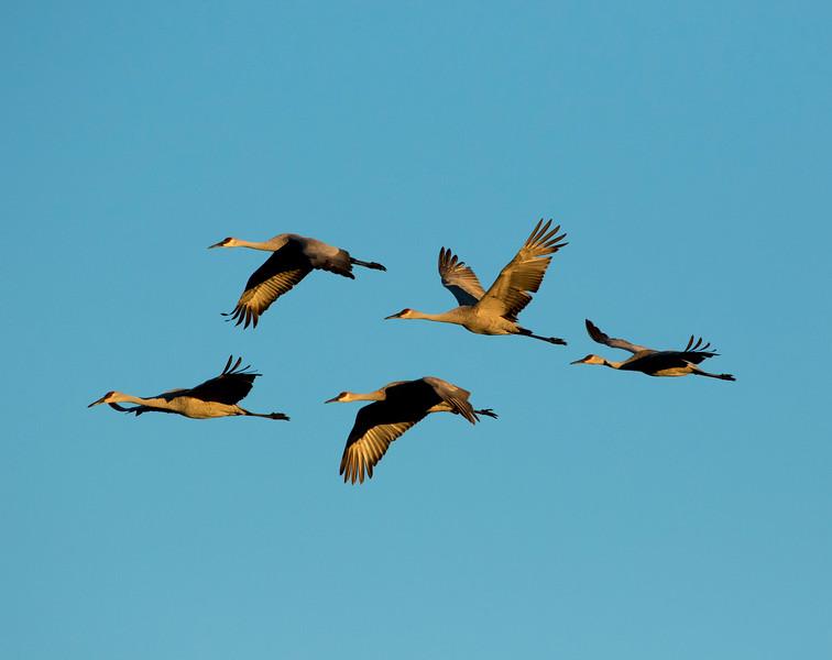Sandhill cranes 8 (October 2016)
