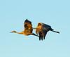 Sandhills cranes 5 (October 2016)