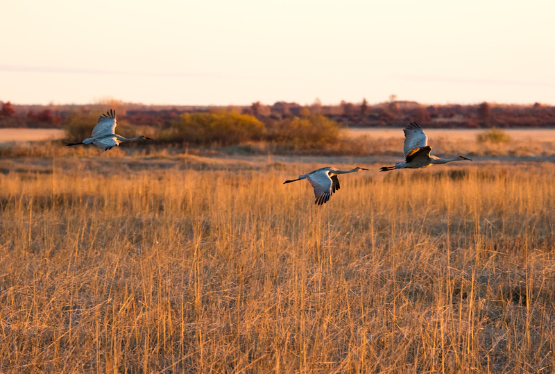 Sandhill cranes 3 (October 2016)