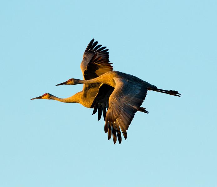 Sandhill cranes 6 ()October 2016)