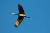 Sandhill cranes 10 (October 2016)