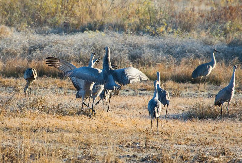 Sandhill cranes 38 (October 2016)