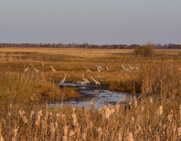 Sandhill cranes 43 (October 2016)