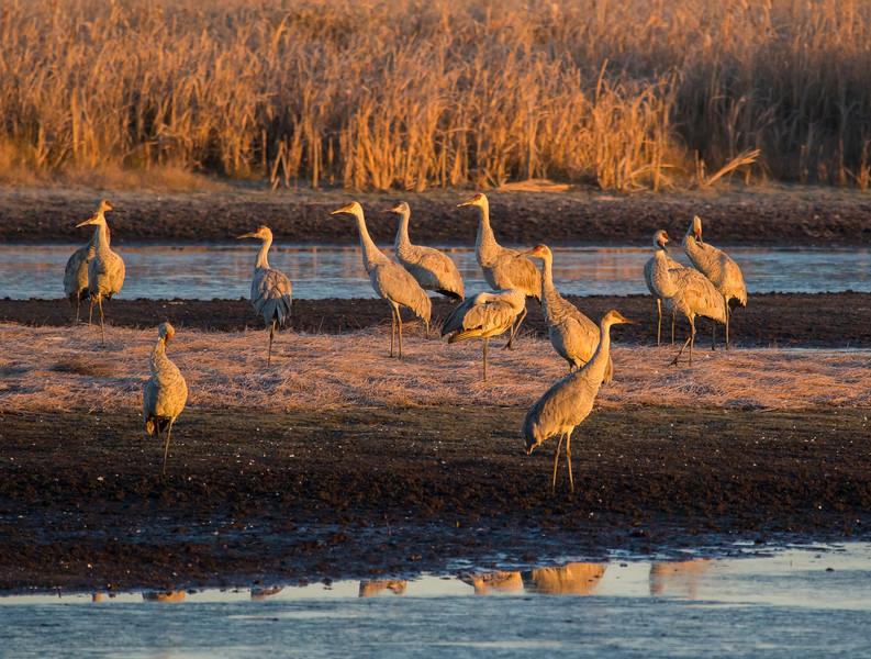 Sandhill cranes 31 (October 2016)