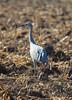 Sherburne cranes 8 (2015)