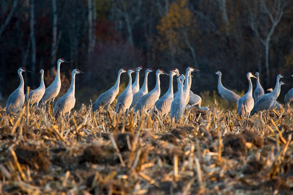 Sherburne cranes 13 (2015)