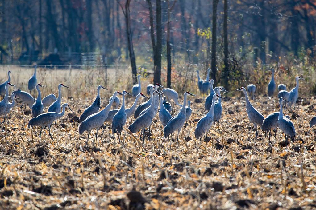 Sherburne cranes 7 (2015)