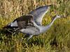 Sherburne cranes 4 (2015)