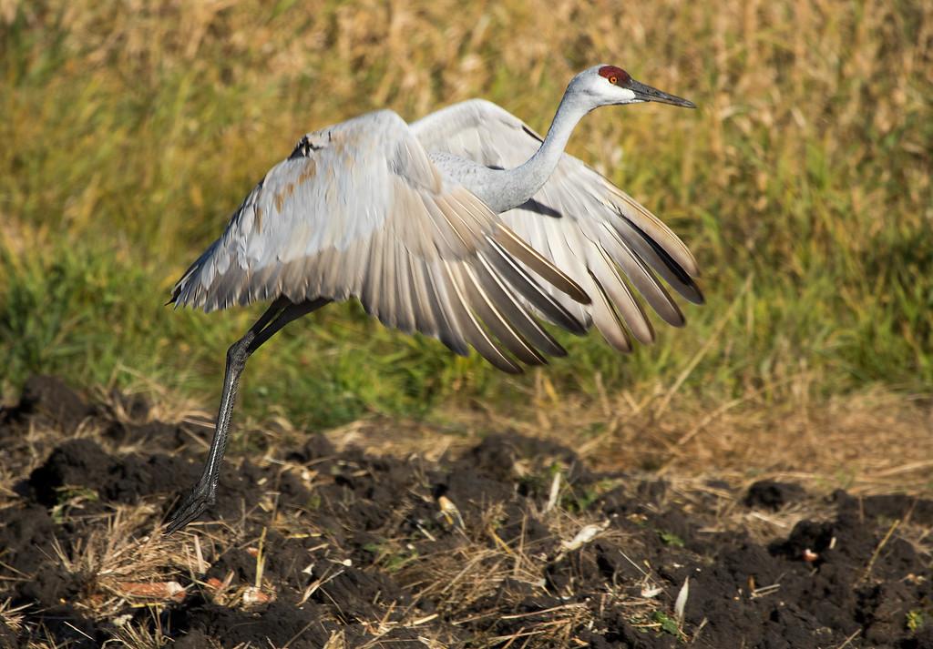 Sherburne cranes 14 (2015)
