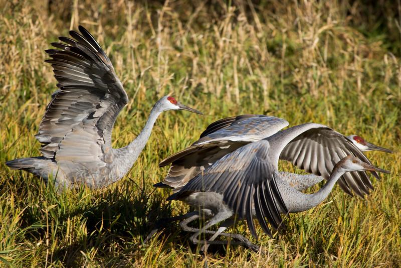 Sherburne cranes 16 (2015)