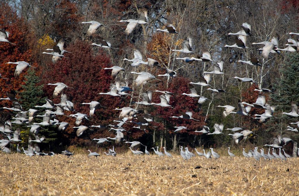 Sherburne cranes 9 (2015)