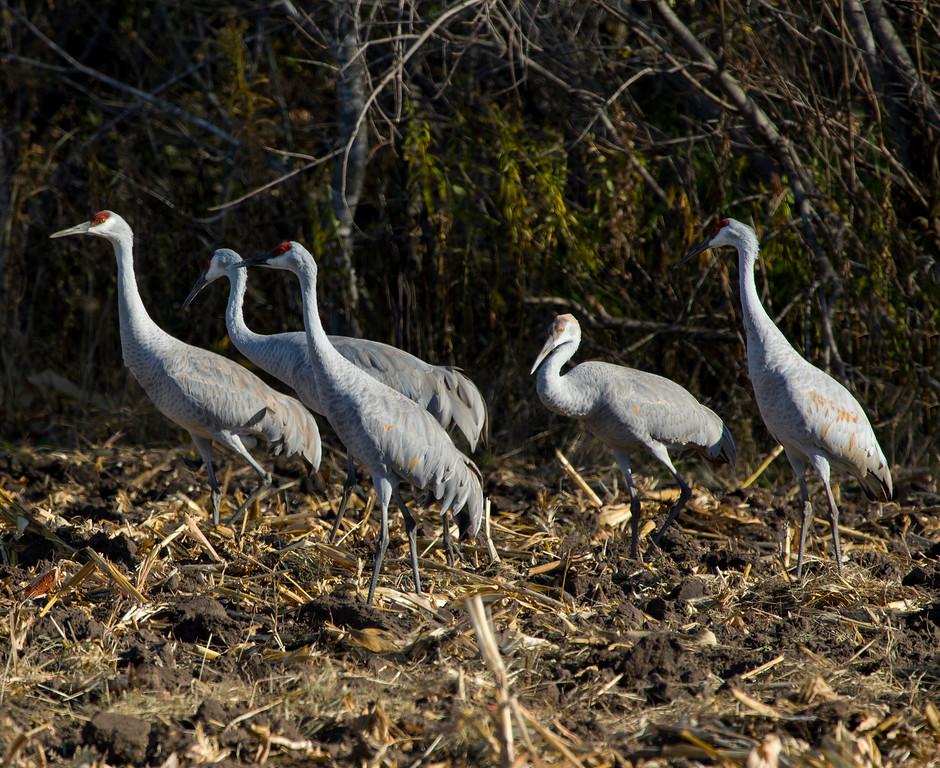 Sherburne cranes 3 (2015)
