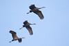 Sherburne cranes 12 (2015)