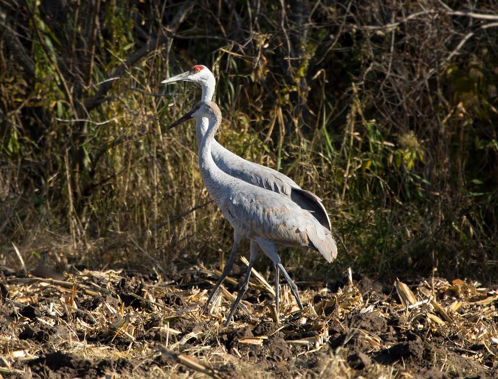 Sherburne cranes 2 (2015)