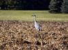 Sherburne cranes 6 (2015)