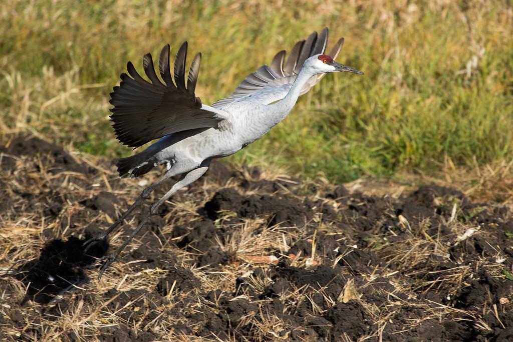 Sherburne cranes 15 (2015)