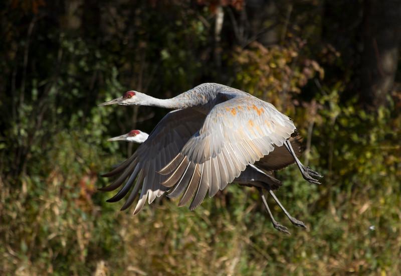 Sherburne cranes 1 (2015)