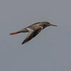 Common Redshank - Rødben