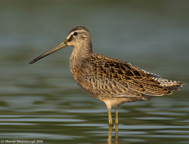 Another dowitcher