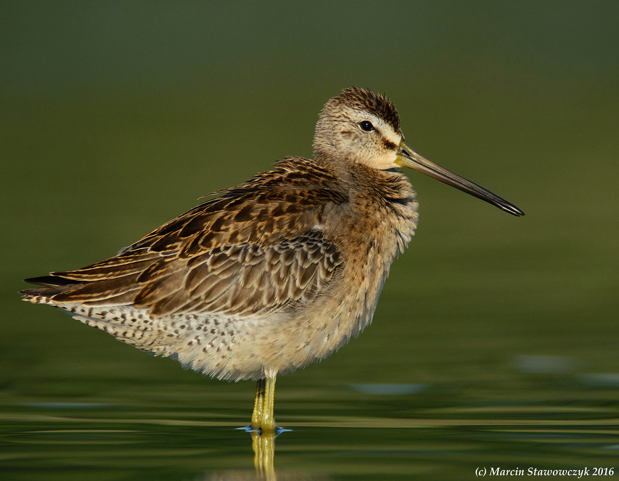 Posing dowitcher