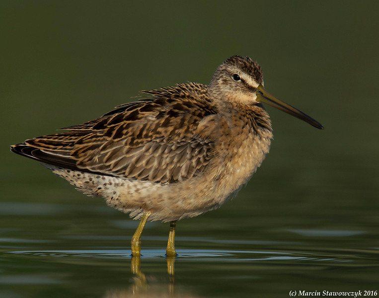 Dowitcher in greens