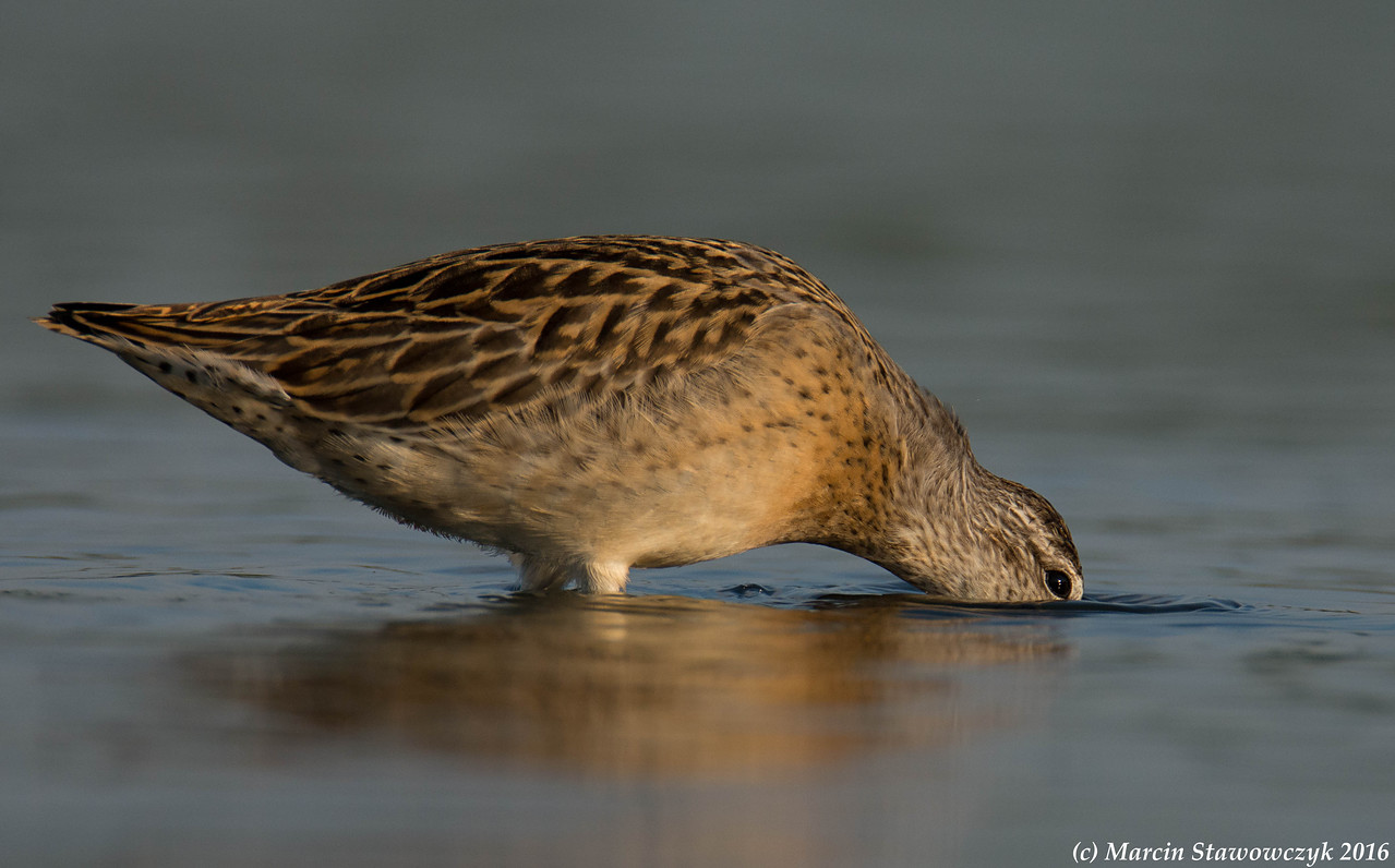 Digging dowitcher