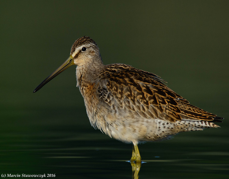 Dowitcher in a green water