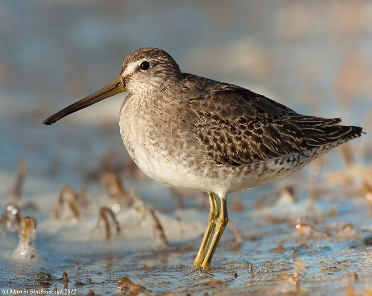 A little dowitcher