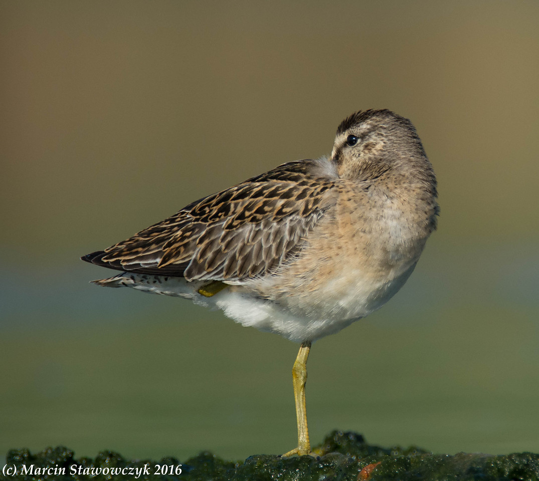 Dowitcher at rest
