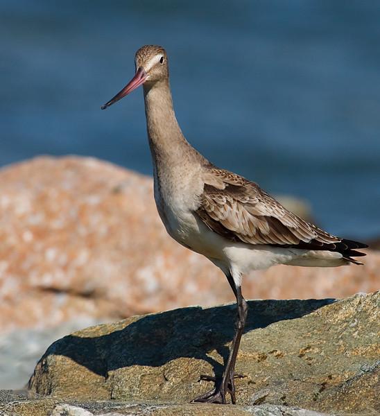 Posing godwit