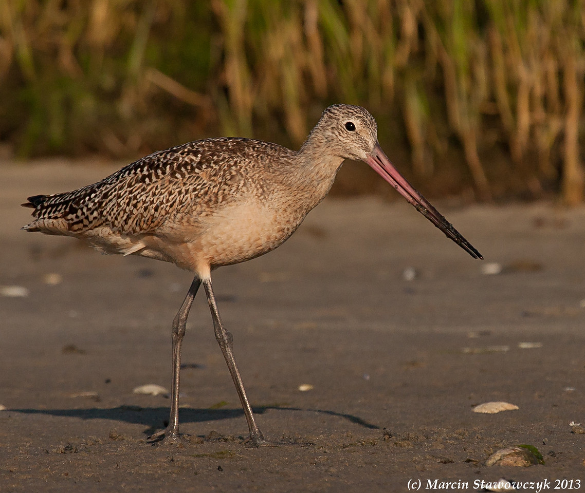 Evening godwit