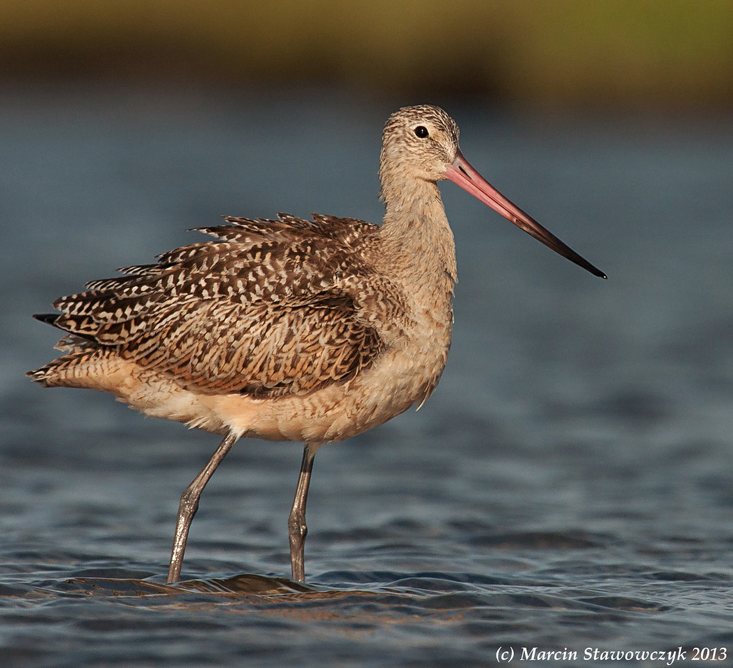 Godwit in the sea