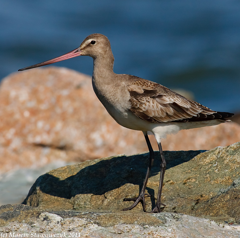 Godwit on the rocks