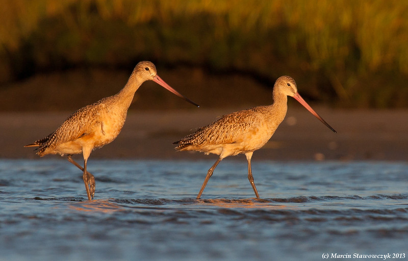 Two godwits