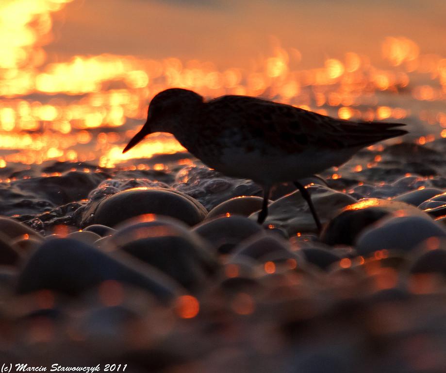 Sunset sandpiper