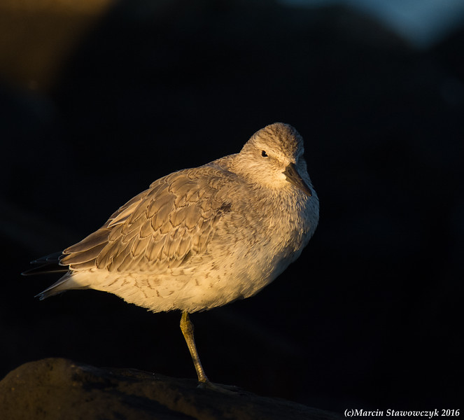 Red knot in the dark