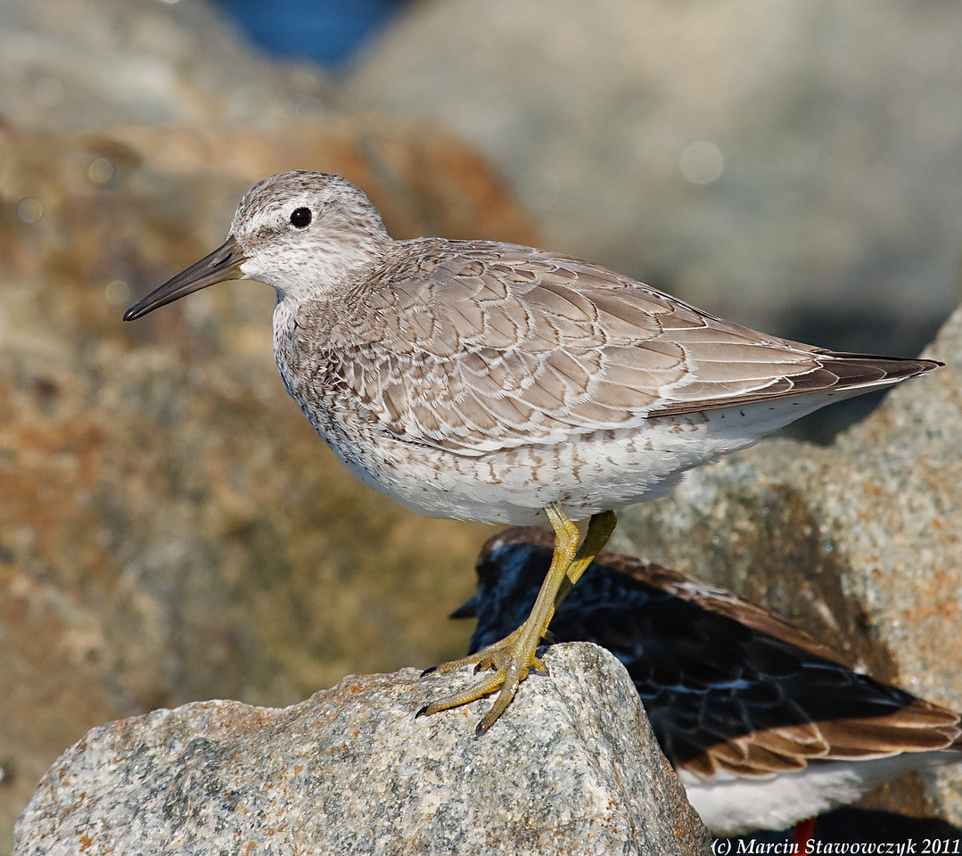 Glipmse of Red Knot