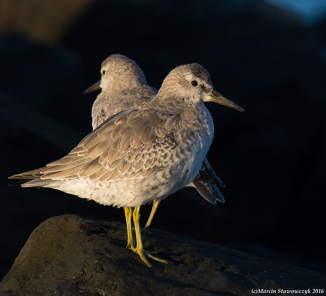 A pair of red knots