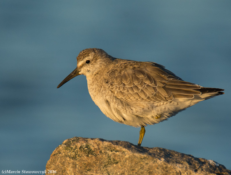 Sunset red knot