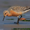 Feeding red knot