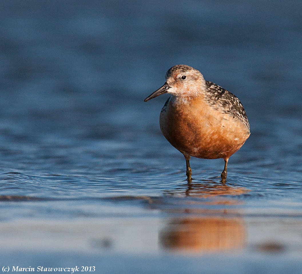 Red knot in blue water